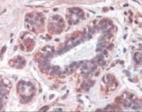 Immunohistochemistry staining of Leptin in breast tissue using Leptin Antibody.