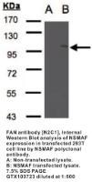 Anti-NSMAF Rabbit Polyclonal Antibody