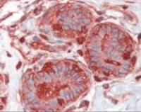 Immunohistochemistry staining of Ezrin in breast tissue using Ezrin Antibody.