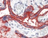 Anti-CD59 Mouse Monoclonal Antibody