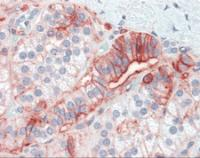 Human adrenal tissue stained with CD44 Antibody at 5 ug/mL followed by biotinylated anti-mouse IgG secondary antibody, alkaline phosphatase-streptavidin and chromogen.