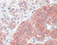 Human adrenal tissue stained with SRC Antibody at 20 ug/mL followed by biotinylated anti-mouse IgG secondary antibody, alkaline phosphatase-streptavidin and chromogen.