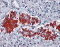 Immunohistochemistry staining of GNAI1 in pancreas tissue using GNAI1 monoclonal Antibody.