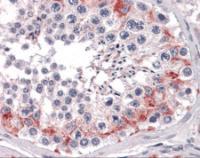 Immunohistochemistry of human testis tissue stained using FAM175A Monoclonal Antibody.