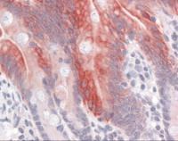 Immunohistochemistry of human small intestine tissue stained using Cytoke Monoclonal Antibody.