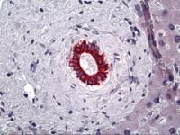Immunohistochemistry of human bile ducts of the liver stained using KRT8 Monoclonal Antibody.