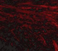 Immunofluorescence of IL-16 in mouse brain tissue with IL-16 antibody at 20 ug/mL.
