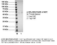 4-20% SDS-PAGE of HGF: M: Protein Marker 1: 3 μg HGF 2: 7 μg HGF. 4-20% SDS-PAGE of HGF: 3 and 7 μg of Recombinant human HGF loaded in each lane under reducing conditions and stained with Coomassie Blue. Recombinant human HGF has a predicted MW of ~ 80 kDa, however runs at ~60 kDa