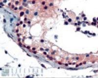 Immunohistochemistry staining of FOXE1 in human testis using FOXE1 Antibody at 2.5 ug/mL.