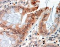 Immunohistochemistry staining of Resistin-like beta in human colon using Resistin-like beta Antibody at 2.5g/mL.