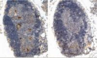 Immunohistochemistry (2ug/ml) staining (left panel) of paraffin embedded Mouse Thymus (Right panel shows staining without primary antibody as negative control). Steamed antigen retrieval with Tris/EDTA buffer pH 9, HRP-staining.