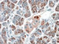 Immunohistochemistry (5ug/ml) staining of paraffin embedded Human Pancreas. Microwaved antigen retrieval with Tris/EDTA buffer pH9, HRP-staining.